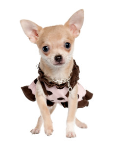 Chihuahua in a frock